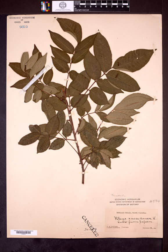 Image of Toxicodendron succedaneum