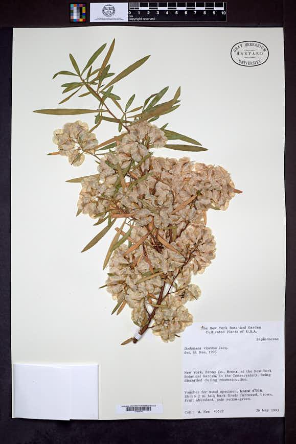 Dodonaea viscosa image