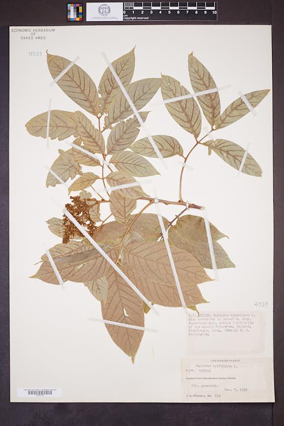 Image of Sapindus trifoliatus