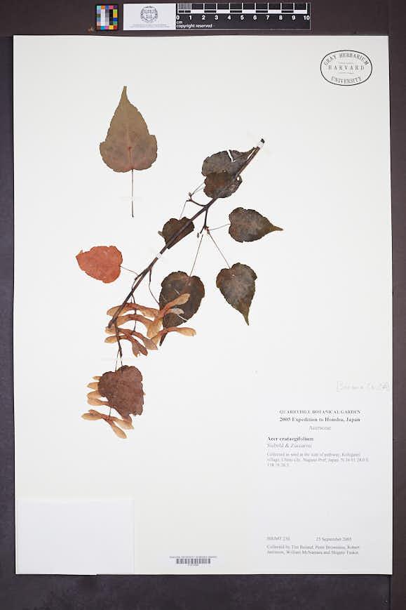 Acer crataegifolium image