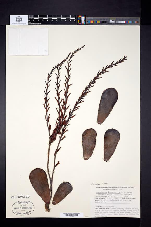 Image of Adromischus sphenophyllus