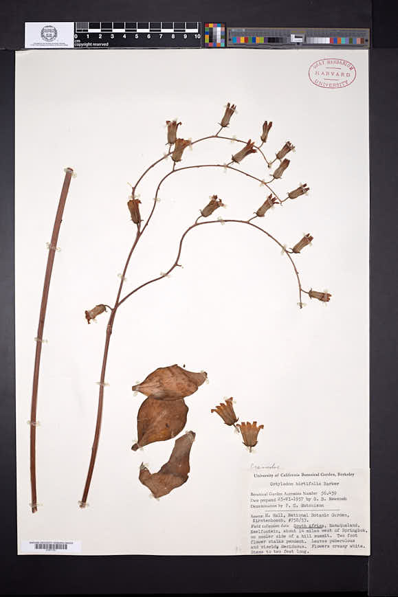 Image of Tylecodon hirtifolium