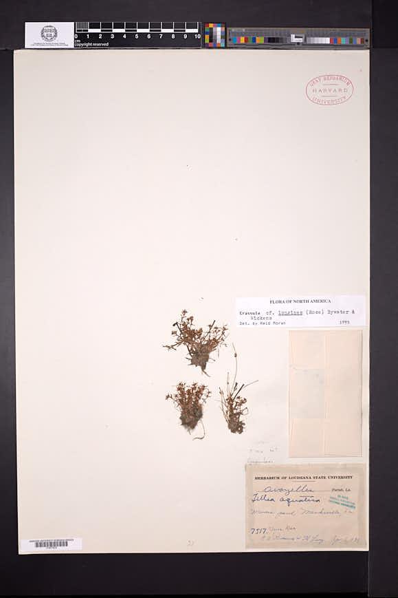 Image of Crassula longipes