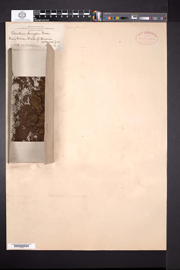 Crassula saginoides image
