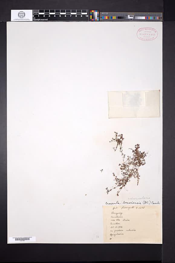 Crassula peduncularis image
