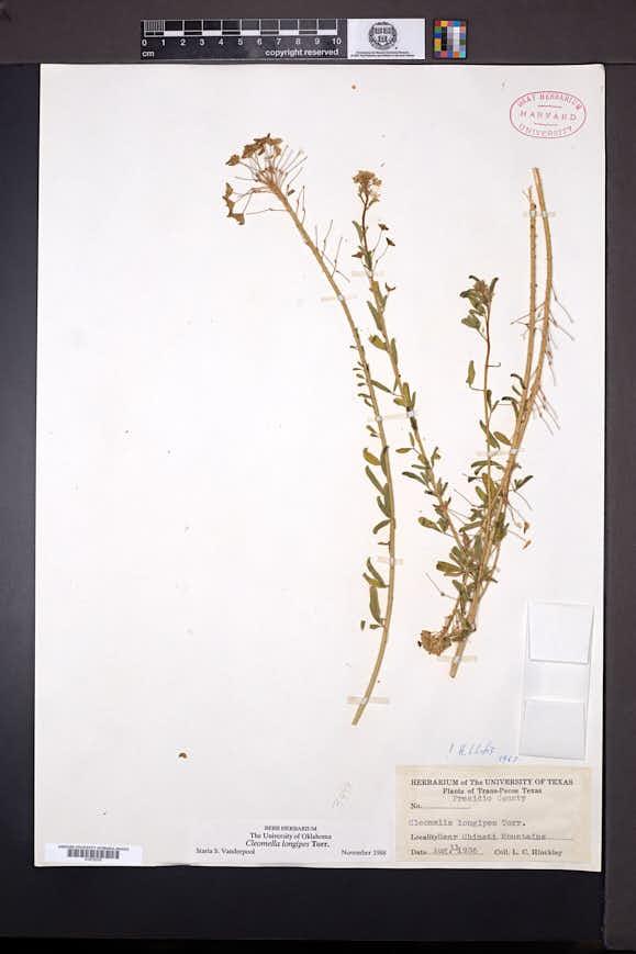 Cleomella longipes image