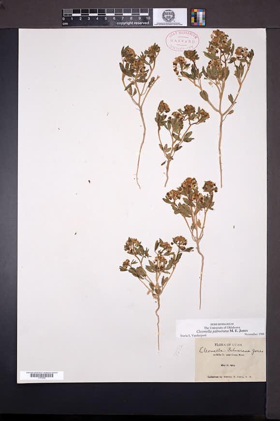 Cleomella palmerana image