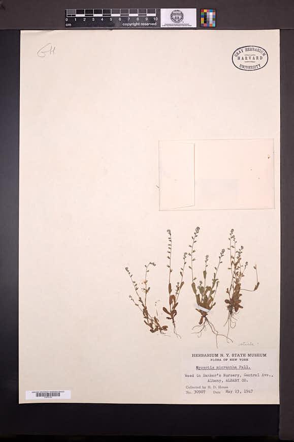 Myosotis stricta image