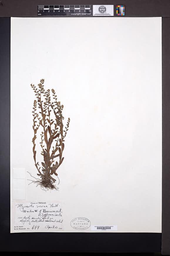 Myosotis verna image