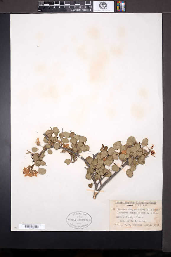 Bauhinia lunarioides image