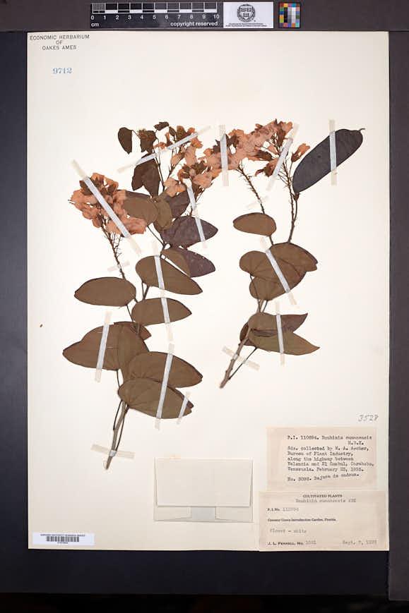 Image of Bauhinia glabra