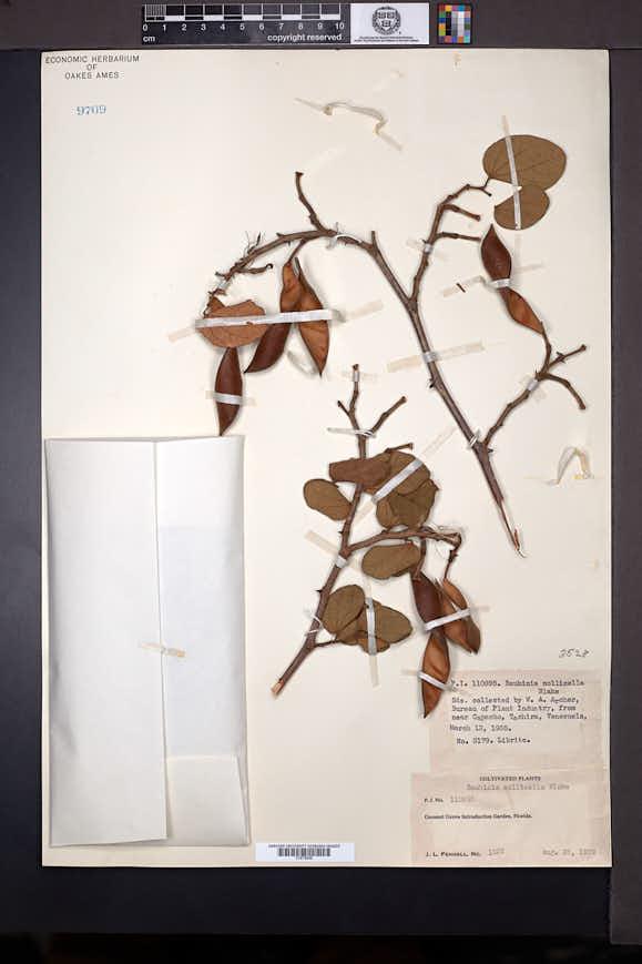 Image of Bauhinia aculeata
