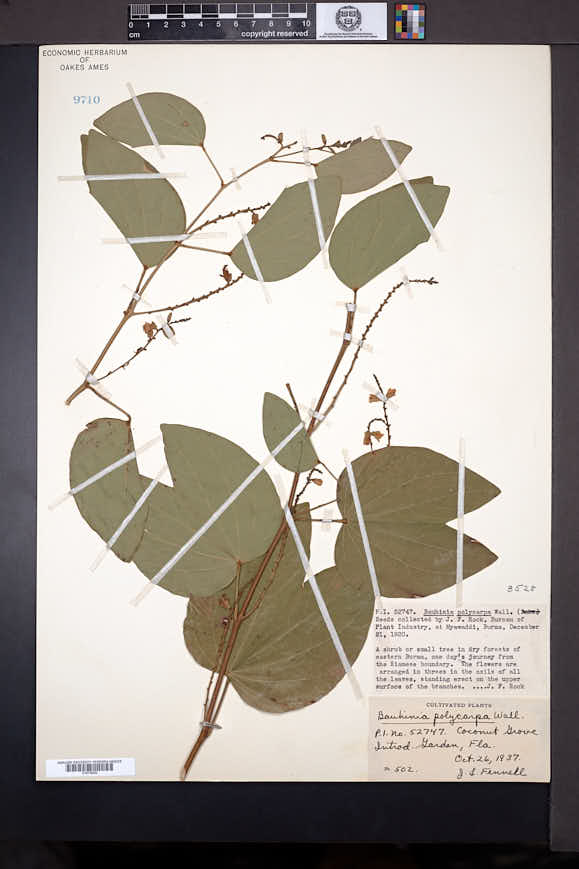 Image of Bauhinia viridescens