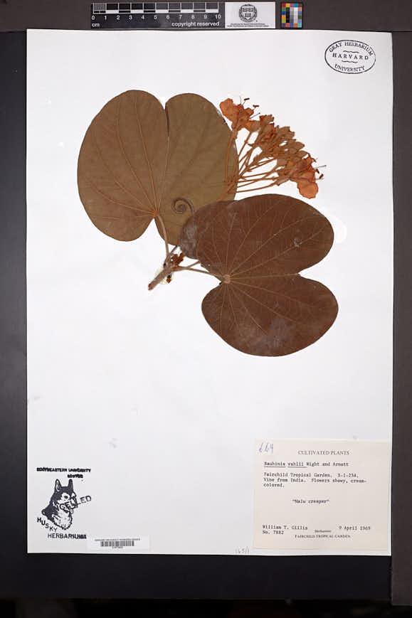 Bauhinia vahlii image