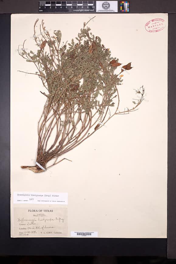 Image of Caesalpinia brachycarpa