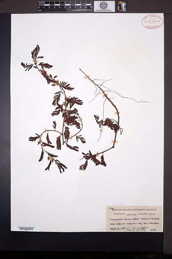 Image of Chamaecrista chamaecristoides