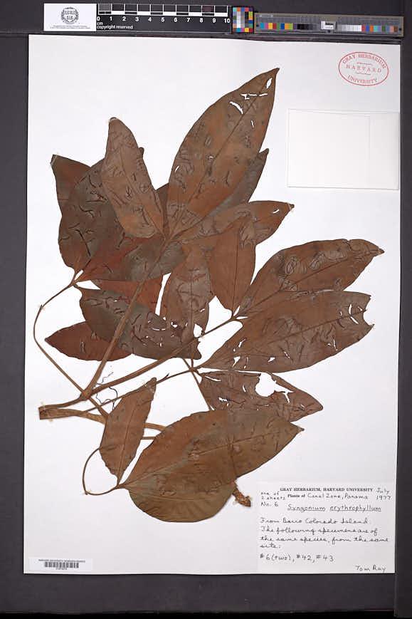 Syngonium erythrophyllum image