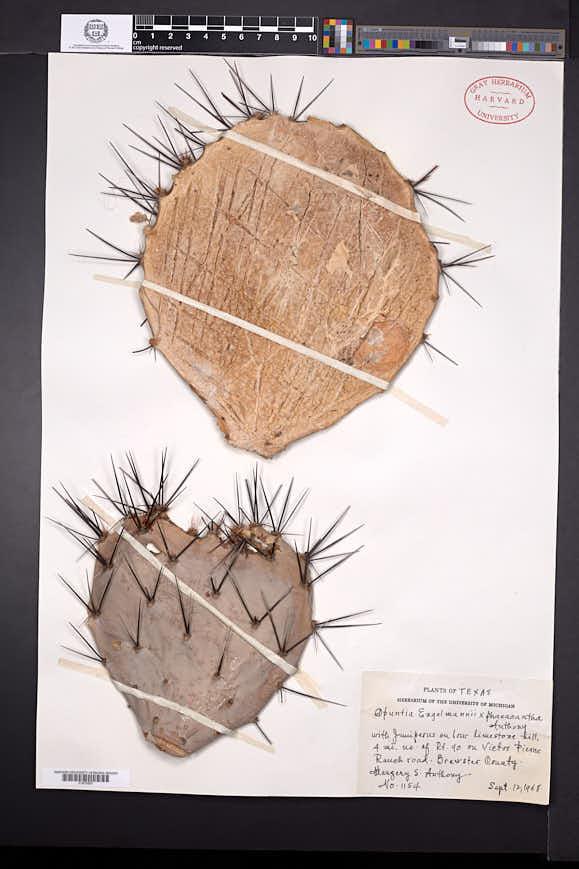Opuntia engelmannii image