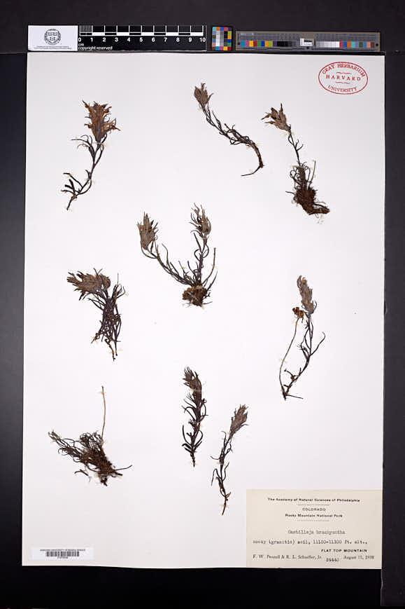 Castilleja brachyantha image