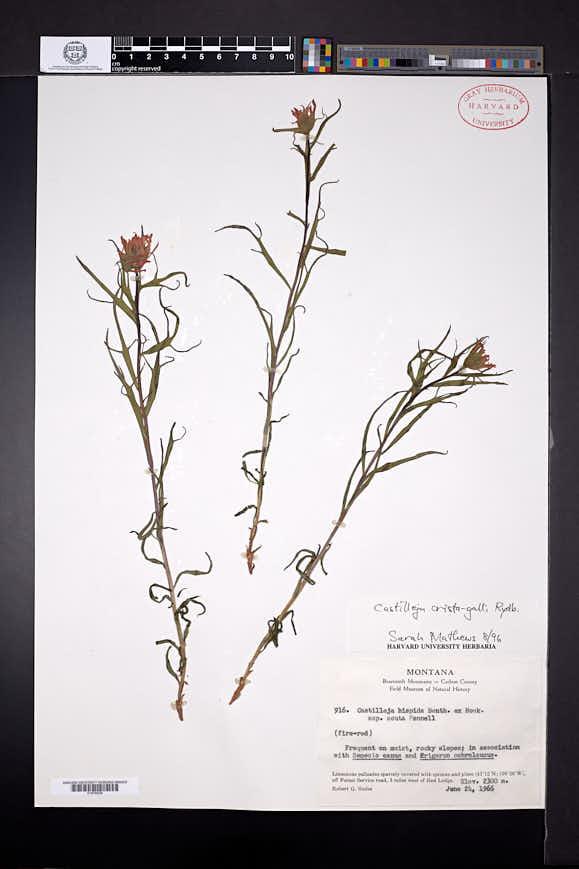 Castilleja crista-galli image
