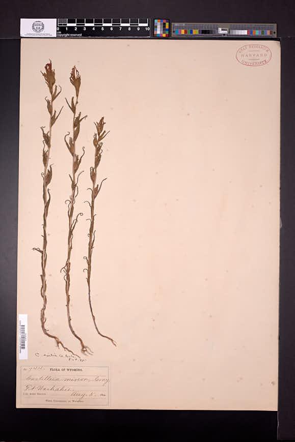 Castilleja minor subsp. minor image