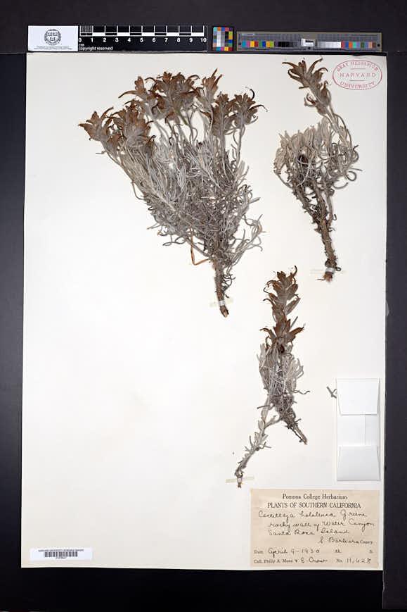 Castilleja hololeuca image