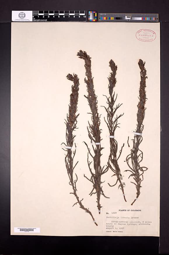 Castilleja lineata image