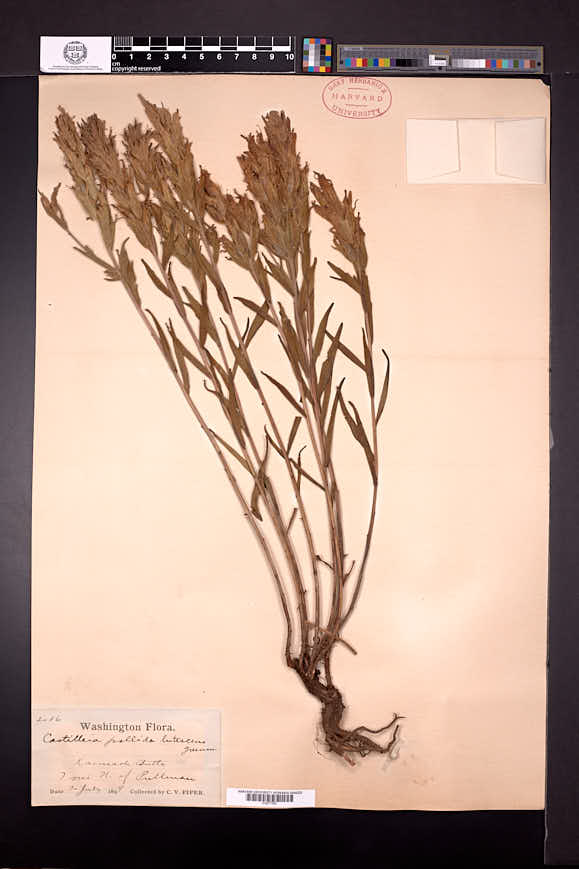 Castilleja lutescens image