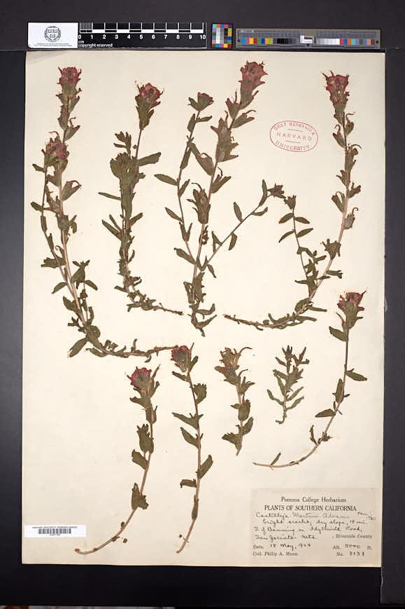 Castilleja applegatei subsp. martini image