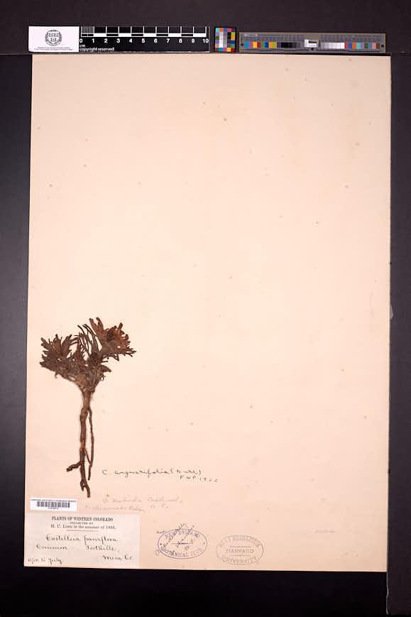 Castilleja scabrida image