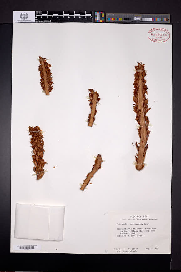 Conopholis alpina var. mexicana image