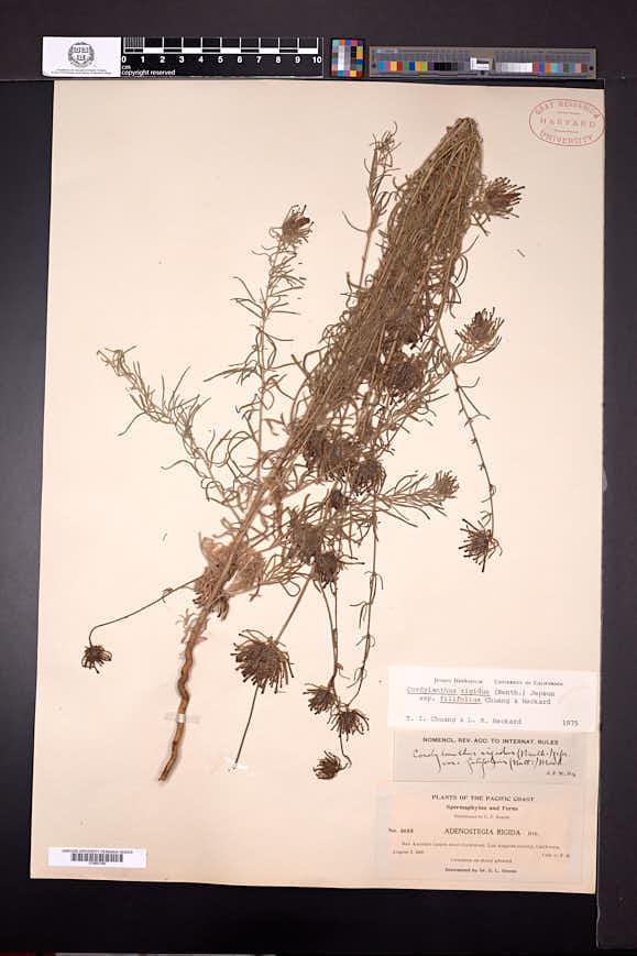 Cordylanthus rigidus image
