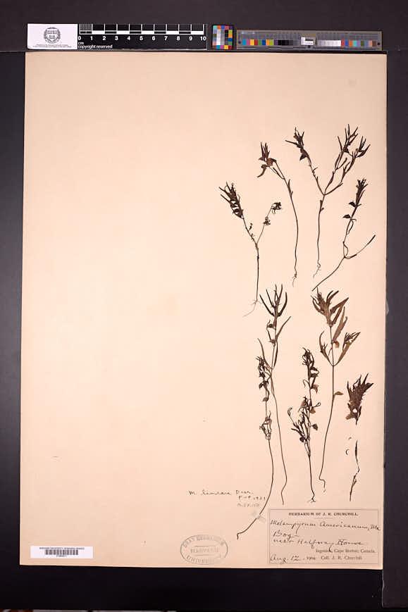 Melampyrum lineare image
