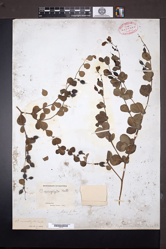 Image of Baptisia microphylla