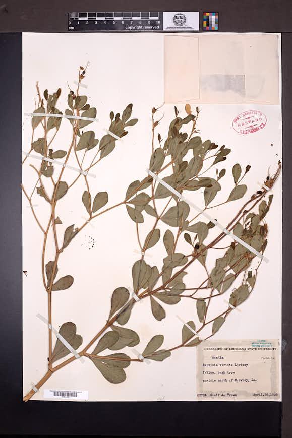Baptisia sphaerocarpa image