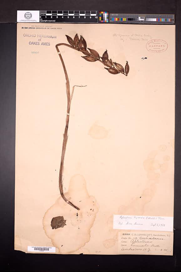 Aplectrum hyemale image