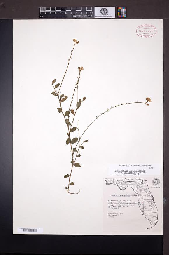 Crotalaria rotundifolia var. vulgaris image