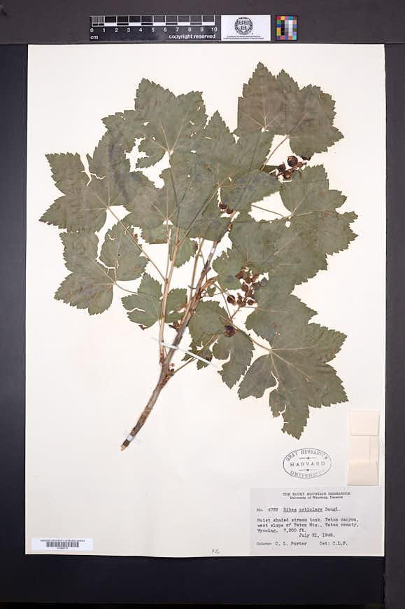 Ribes hudsonianum image