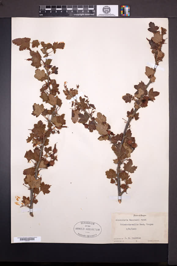 Ribes menziesii image