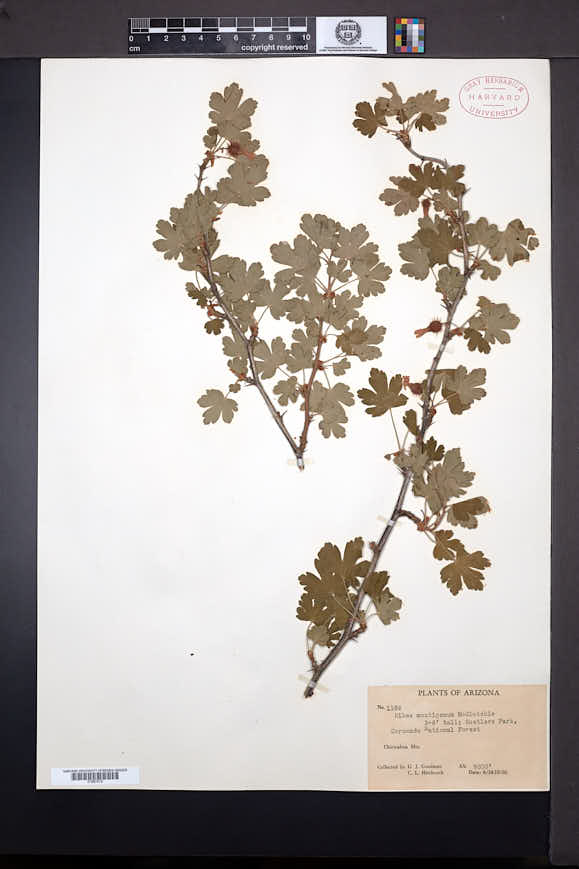 Ribes montigenum image
