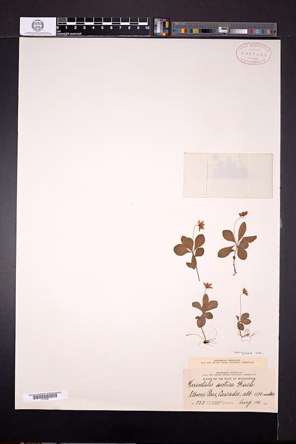 Lysimachia europaea image