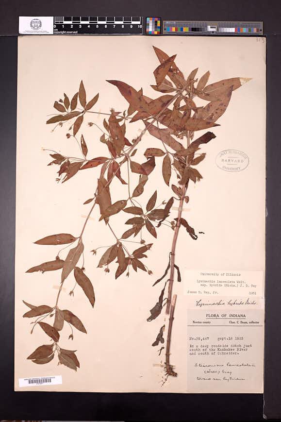 Lysimachia lanceolata image