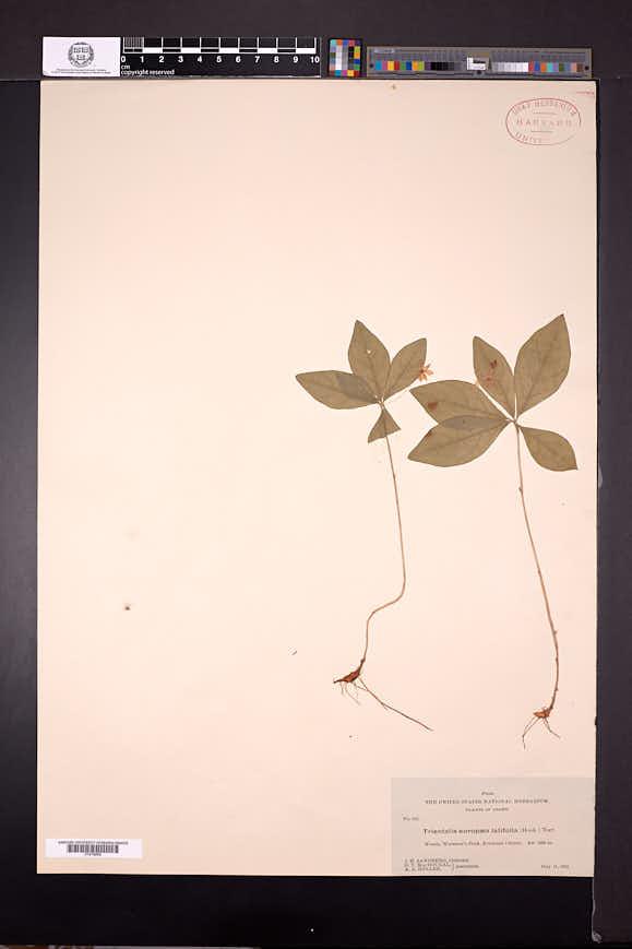Lysimachia latifolia image