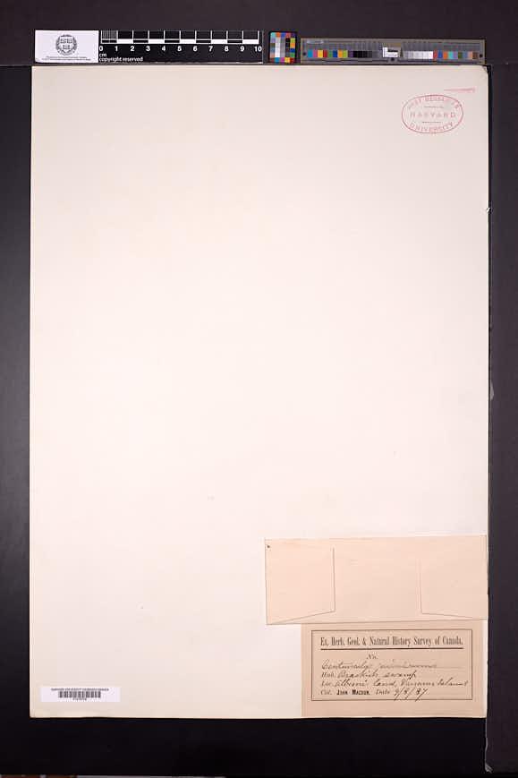 Lysimachia minima image