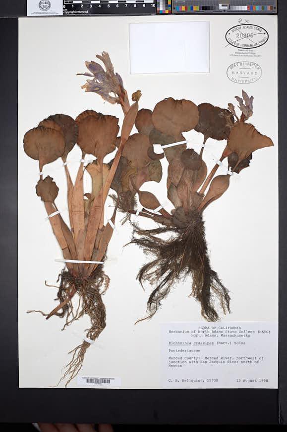 Eichhornia crassipes image