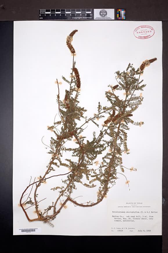 Dalea phleoides var. microphylla image