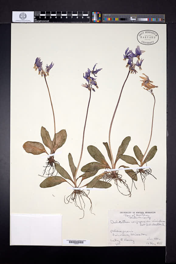 Dodecatheon conjugens image