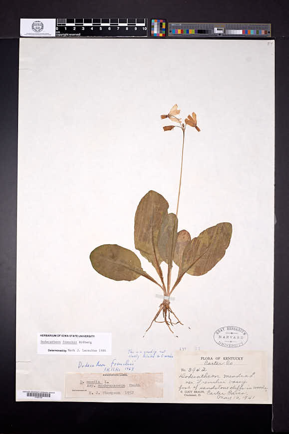 Dodecatheon frenchii image