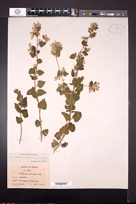 Brickellia californica image