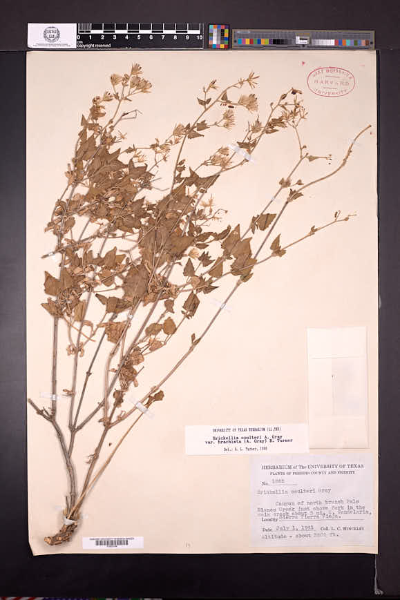 Brickellia coulteri image